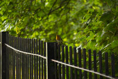Robin. Beautiful Robin sitting on top of fence Royalty Free Stock Photos