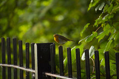 Robin. Beautiful Robin sitting on top of fence Royalty Free Stock Photography