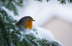 Robin Erithacus rubecula hanging on to a snowy branch of fir tree stock image