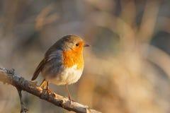 Robin bei Sonnenaufgang lizenzfreies stockbild