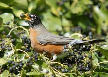 Robin with Berry. American robin feeding on an english ivy berry Stock Photography