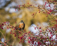 Robin and Berry Branches. A robin on a branch of red berries Royalty Free Stock Photography
