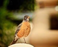 Robin Bird lizenzfreies stockbild