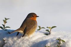 Robin Bird. A robin in the winter Stock Photo