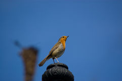 Robin Bird Royalty Free Stock Image