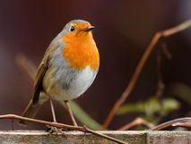 Robin bird Stock Image