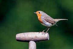Robin bird. On a stone Royalty Free Stock Photo