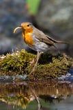 Robin bird Stock Image
