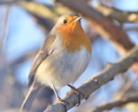 ROBIN BIRD . Stock Photos