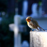 Robin bird. Sitting on tomb cross at cemetery in Rome Stock Images