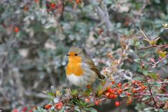 Robin Bird stock afbeeldingen