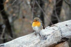 Robin Bird Royalty-vrije Stock Afbeeldingen