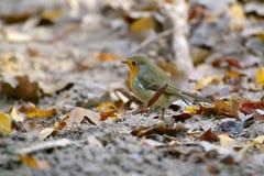 Robin Bird Fotos de Stock Royalty Free