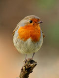 Robin bird. Robin, beautyful bird with reddish-orange face and breast, looking around