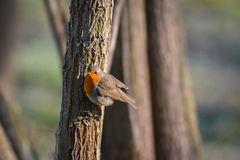 Robin Bird stock foto