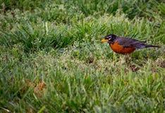 Robin Bird adiantado Imagens de Stock