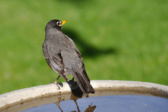 Robin on Bird Bath Royalty Free Stock Images