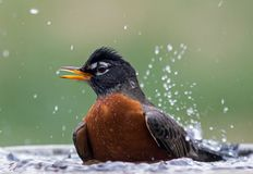 Robin in bird bath. A male robin splashing in a bird bath Stock Images