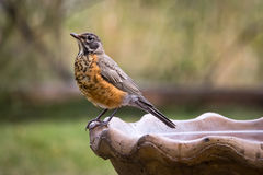 Robin on a bird bath. Looking left Stock Photos