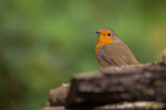 Robin bird behind log Stock Photos