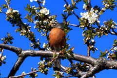Robin bird and blooming Cherry Tree. Royalty Free Stock Images