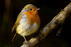 Robin bird on a branch. Close up of a Robin bird sitting on a branch - Erithacus rubecula stock image