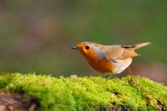 Robin bird on a branch stock images