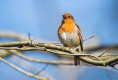 Robin Bird Chirping and Singing Royalty Free Stock Photo
