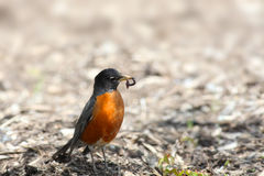 Robin bird Stock Photography