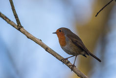 Robin bird on a cold winter morning Stock Photo