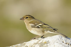 Robin bird Royalty Free Stock Photo