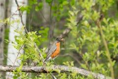 Robin bird eating worms Stock Photo