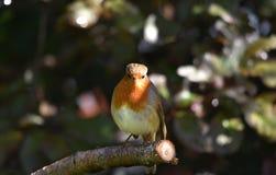 Robin Bird/Europese Robin royalty-vrije stock foto