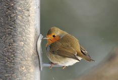 Robin on bird feeder Stock Photography