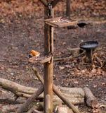 Robin on bird feeder Royalty Free Stock Image