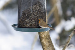 Robin at a bird feeding Royalty Free Stock Photography