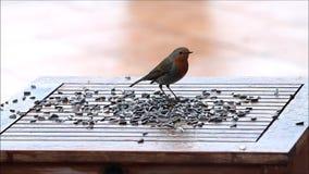 Robin bird, feeding winter fodder stock video