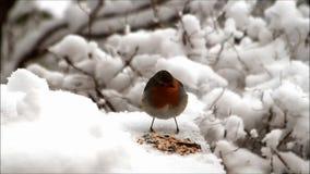 Robin bird, feeding winter fodder in snow stock footage