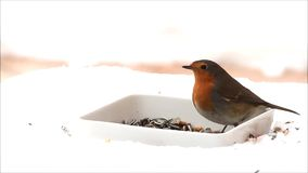 Robin bird, feeding winter fodder, white background, snow stock video