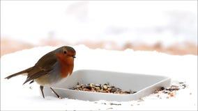 Robin bird, feeding winter fodder, white background, snow stock video footage