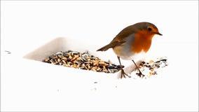 Robin bird, feeding winter fodder, white background, snow stock video