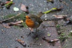 Robin bird in garden Royalty Free Stock Photos