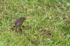 Robin bird on grass Royalty Free Stock Images