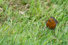 Robin bird on grass Stock Images