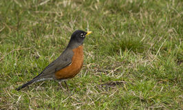 Robin Bird in Green Grass Stock Photos