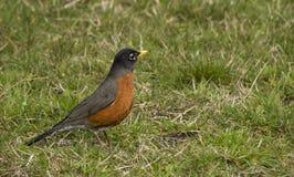 Robin Bird in Green Grass Stock Photos