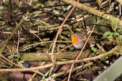 Robin bird hidding in tree nature wallpaper background stock photography