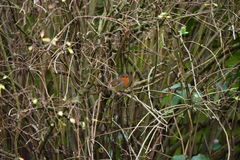 Robin bird Royalty Free Stock Images
