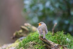 Robin bird in nature Stock Images