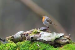 Robin bird in nature Stock Photos